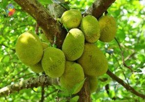 Jackfruit Business In India Cost, Profit, Business Plan, Requirements | SkillsAndTech
